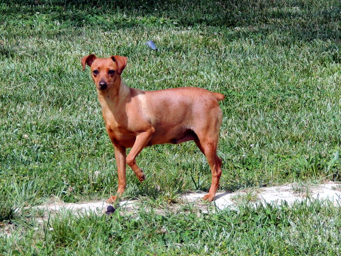 Cassie, our Miniature Pinscher