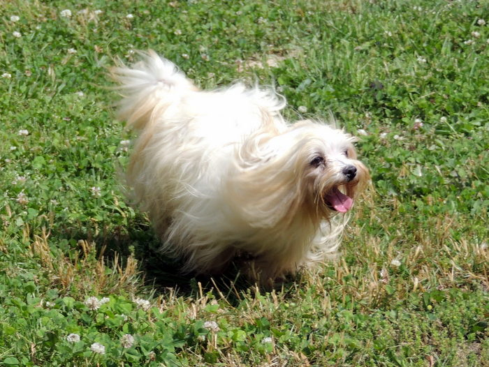 Georgie, our Maltese playing