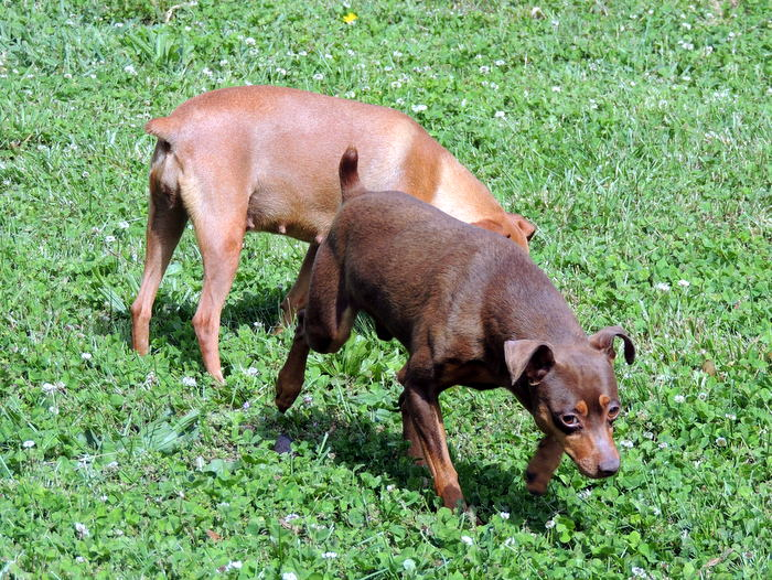 Goliath, our Miniature Pinscher with Cassie