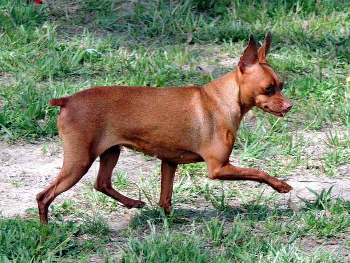 Ruby, our Miniature Pinscher