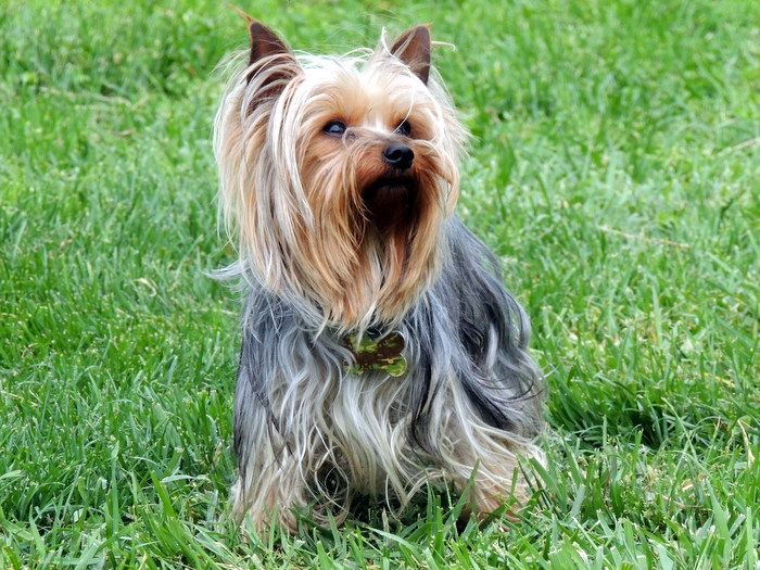 JoJo, our Yorkshire Terrier