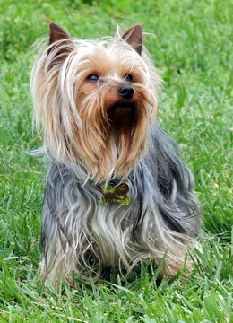 JoJo our Yorkshire Terrier