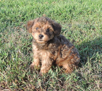 The Happy Woofer - Current Puppies - Delaware Dog Breeder - Puppies