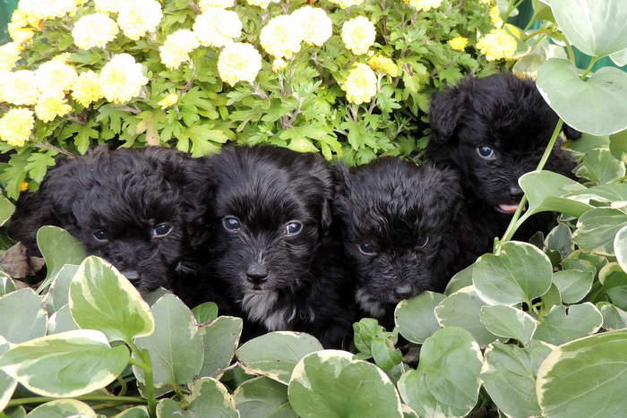 litter of Papi-Poos from Magics litter.  Mommy is Magic, a poodle and Daddy is Little Bit, a papillon