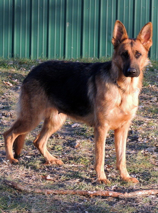 Eve, our German Shepherd Dog