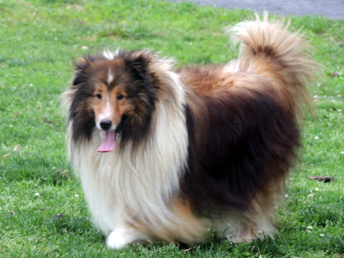 The Happy Woofer Shetland Sheepdog Delaware Dog Breeder