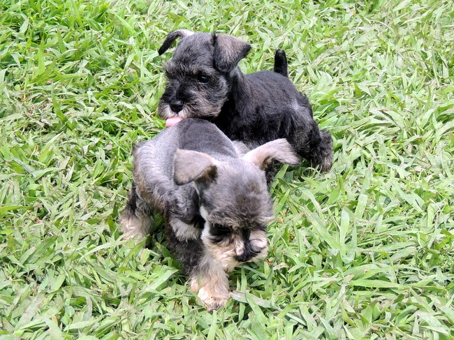 The Happy Woofer Miniature Schnauzer Delaware Dog Breeder