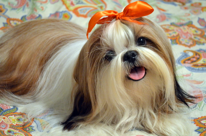 The Happy Woofer Shih Tzu Delaware Dog Breeder Puppies For Sale