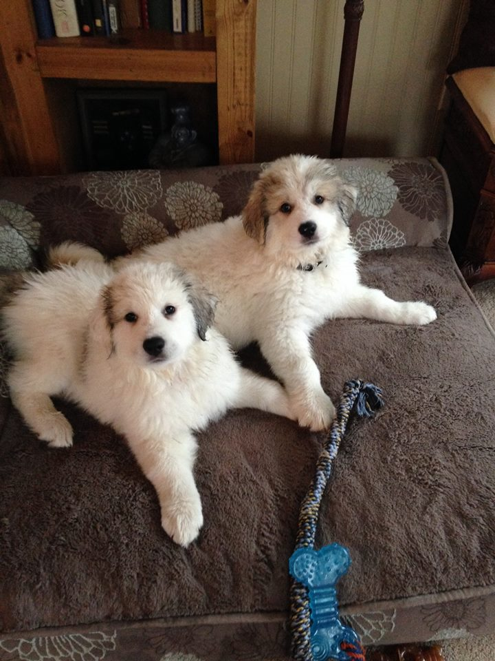 Great Pyrenees Puppies from Thor and Louloo