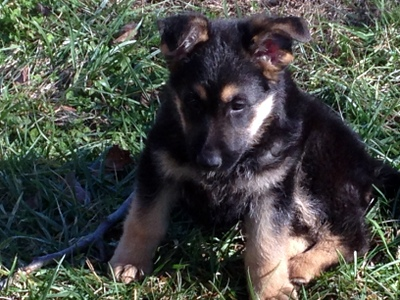 Shepherd Puppy from Eve's litter