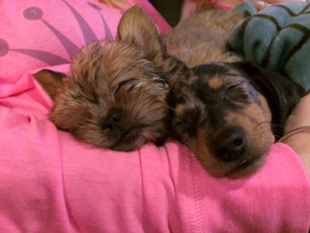 The Happy Woofer - Delaware Dog Breeder - Puppies for Sale