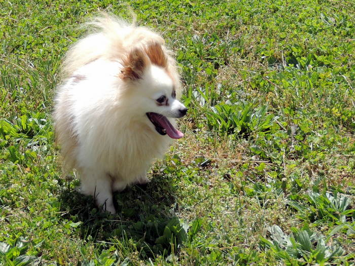 The Happy Woofer Pomeranian Delaware Dog Breeder Puppies For Sale