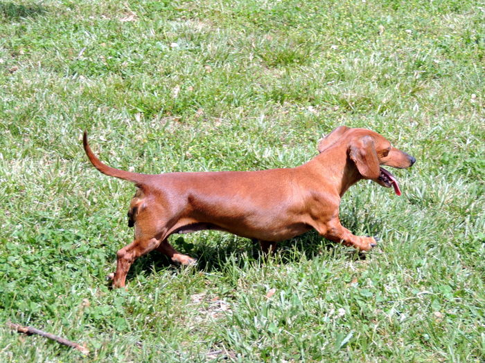 The Happy Woofer Dachshund Delaware Dog Breeder Puppies For Sale