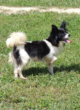 Lace our Papillon