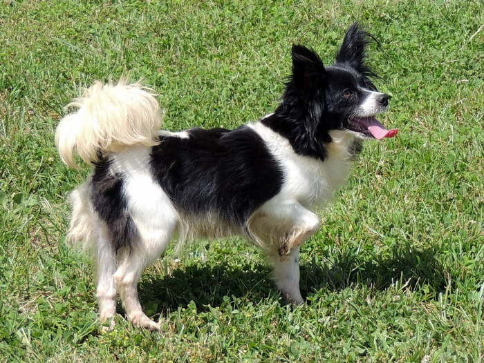 The Happy Woofer Papillon Delaware Dog Breeder Puppies For Sale