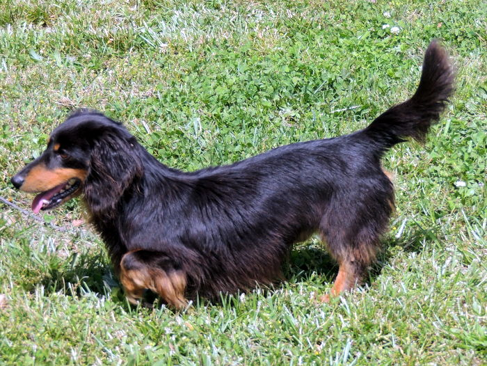 Our Dachshund Puppies For