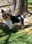 Biewer Yorkshire Terrier, Teddy