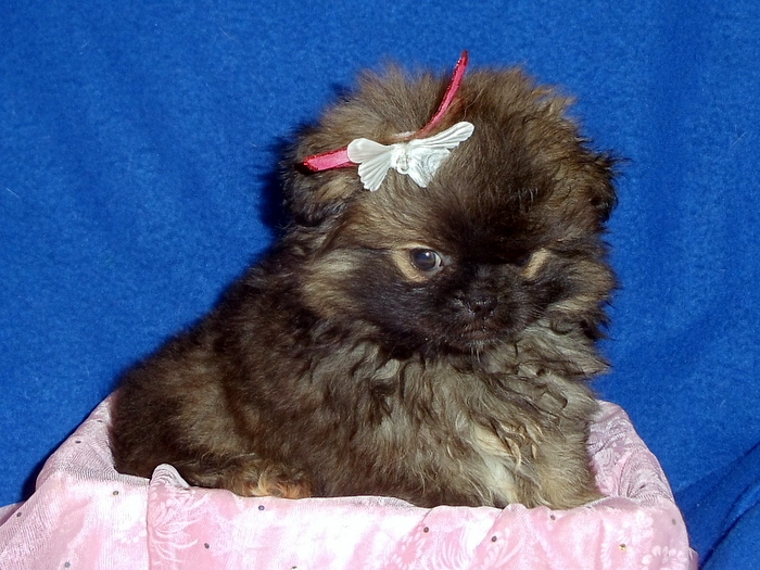 The Happy Woofer Peek A Pom Delaware Dog Breeder Puppies For Sale
