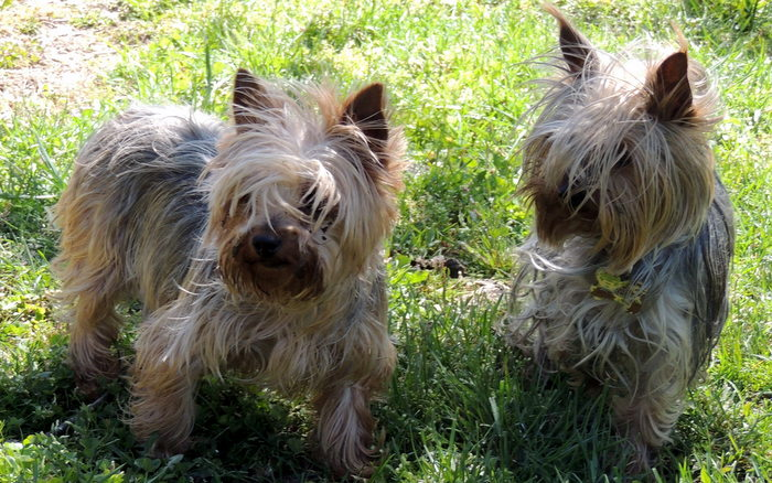 Our Yorkshire Terriers, JoJo and Mary
